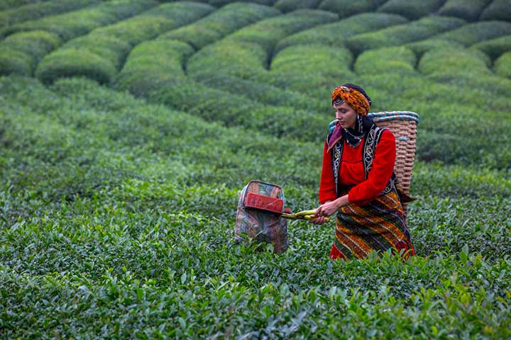 Rize Turkey Tea Collecting